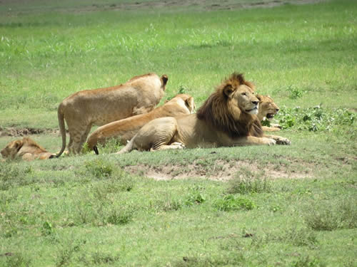 wildlife safari - ngorongoro